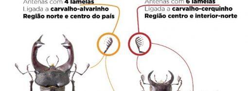 Os maiores escaravelhos de Portugal andam à solta