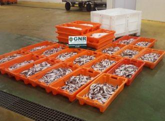 Mais de 800 quilos de pescada apreendidos em Angeja